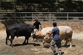 牛牛们在今归仁斗牛场(战斗)打架的样子