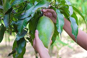 Enjoy fresh and sweet mangos