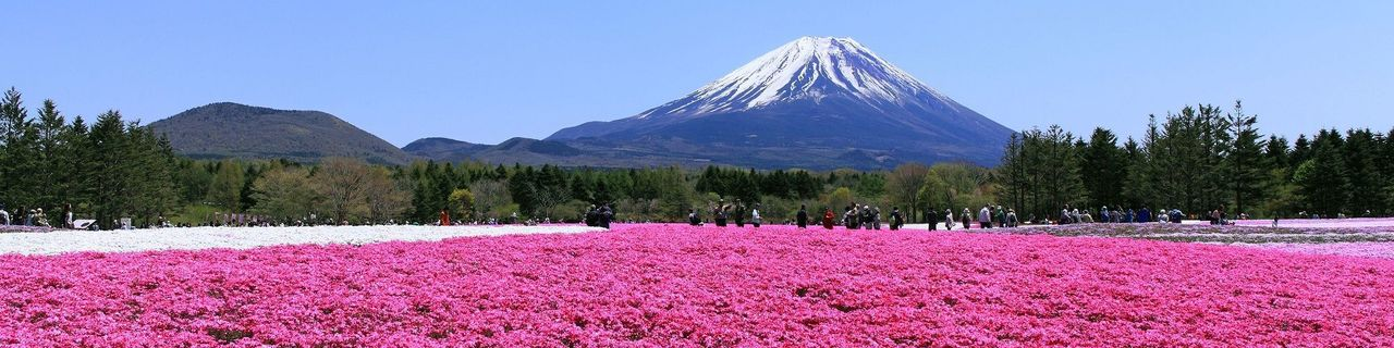 Yamanashi Sakura image