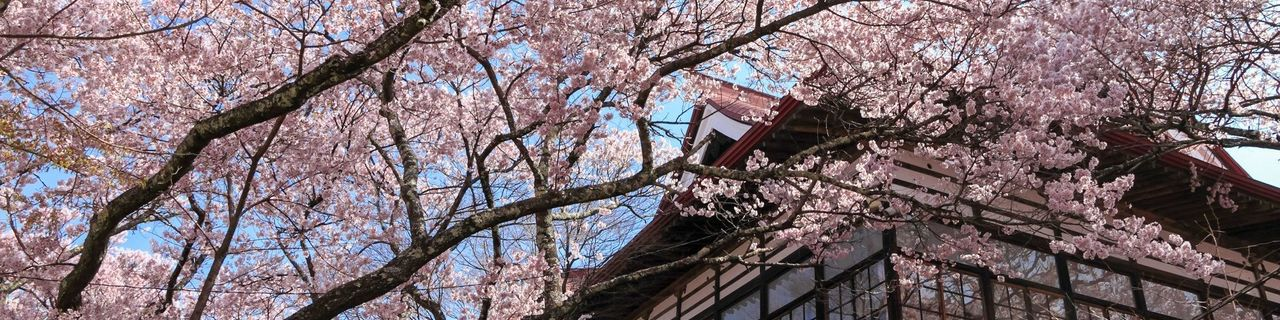 Nagano Sakura