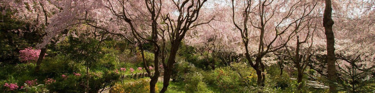 京都桜名所